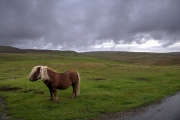 """The """"meeters and greeters"""" at Lund, Unst, Shetlands"""